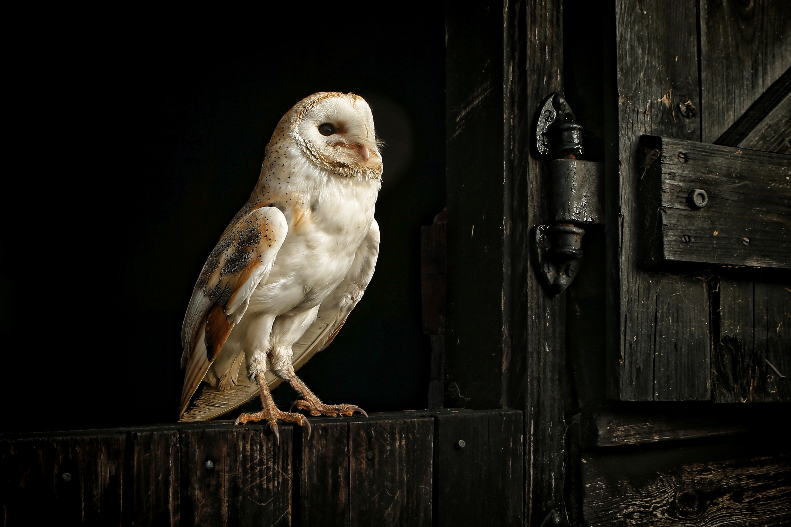 <h5>Barn Owl</h5><p>By Colin Brister																																		</p>
