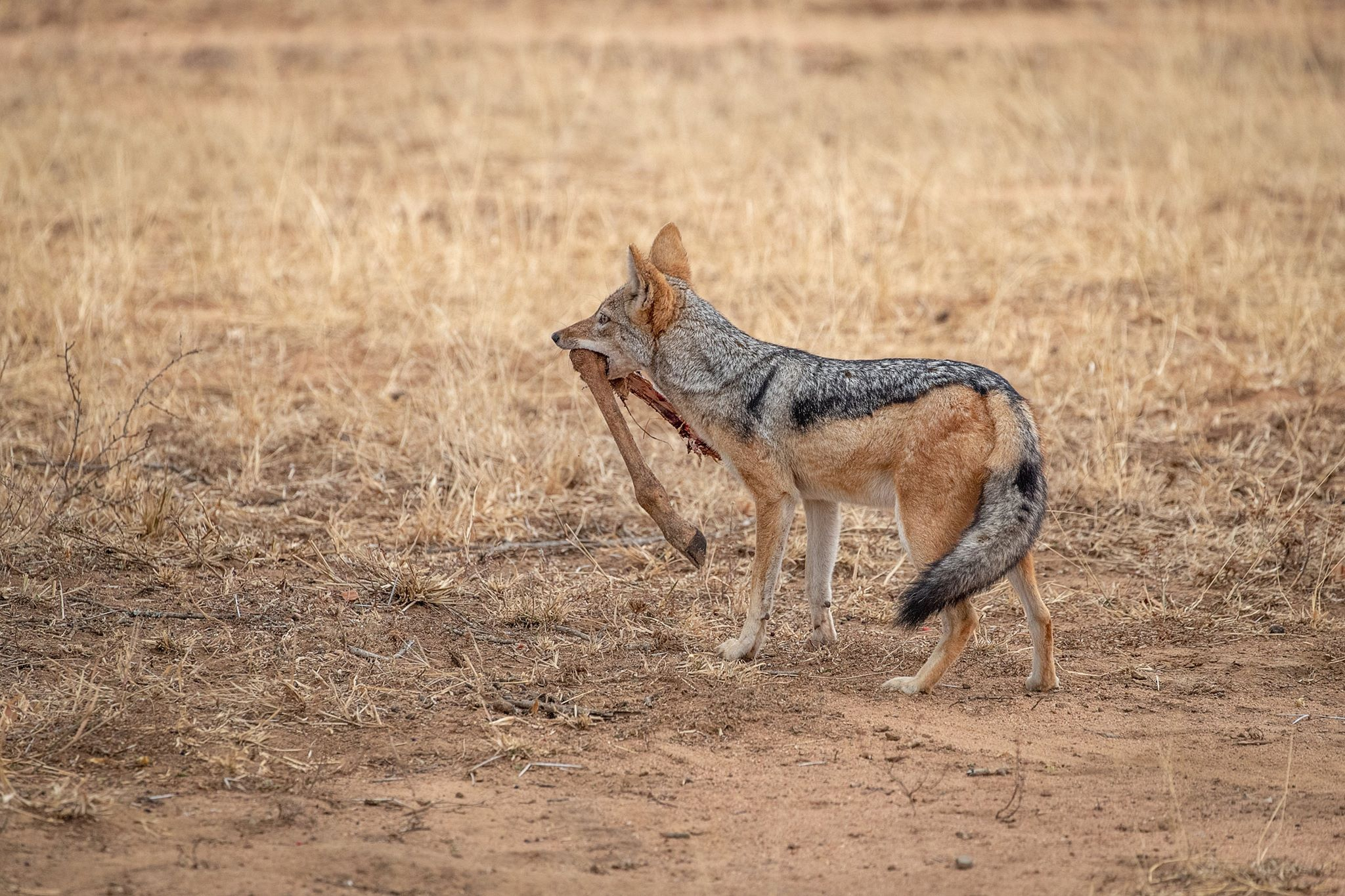 <h5>Blacked-backed Jackal Stealing Leftovers</h5><p>Colour print by Steve Bancroft</p>