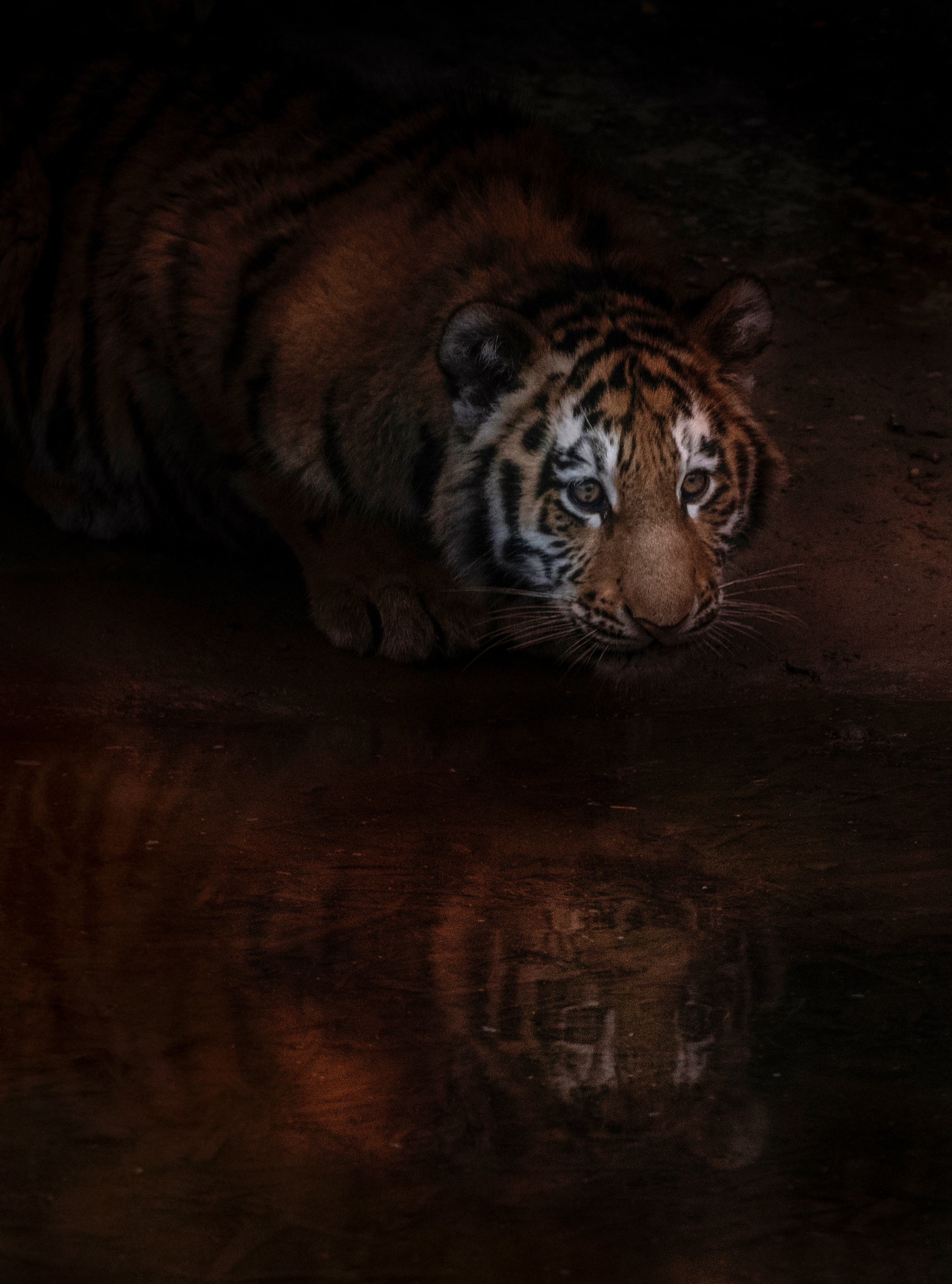 <h5>Tiger Cub at the water hole</h5><p>Colour print by Claire Norman</p>