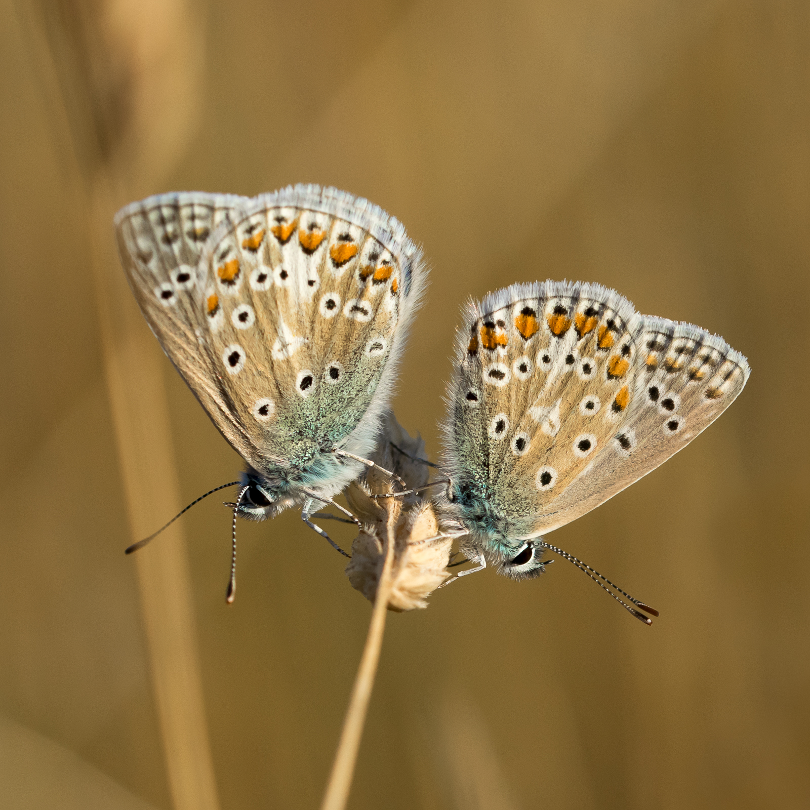 <h5>Common blue butterflies, Polyommatus icarus</h5><p>By Andrea Edwards</p>
