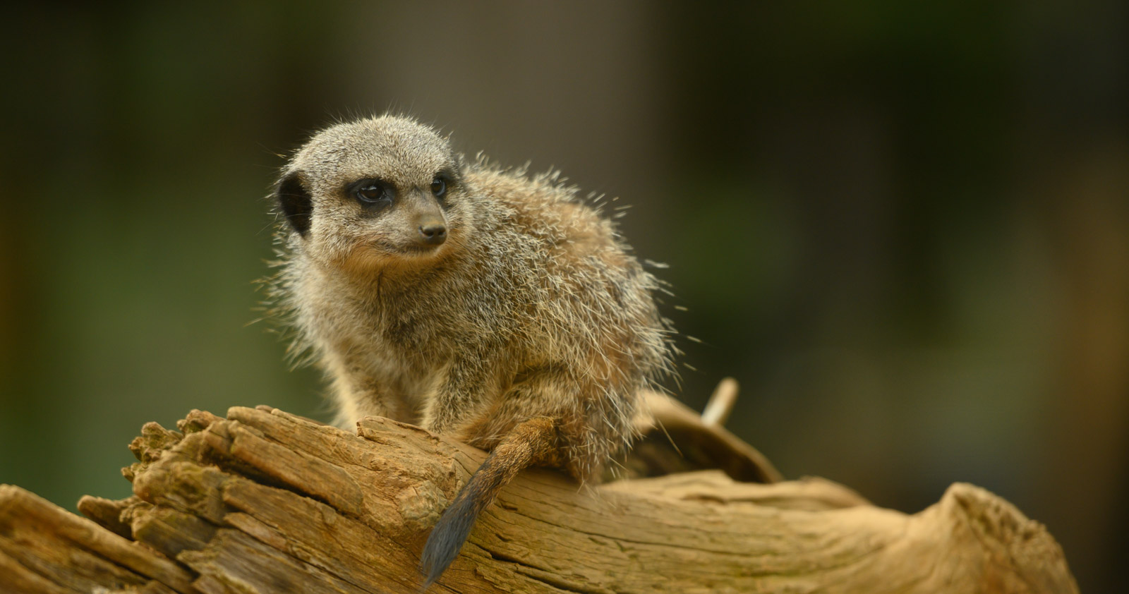<h5>Meerkat at Colchester Zoo</h5><p>By Kita Lupprian</p>