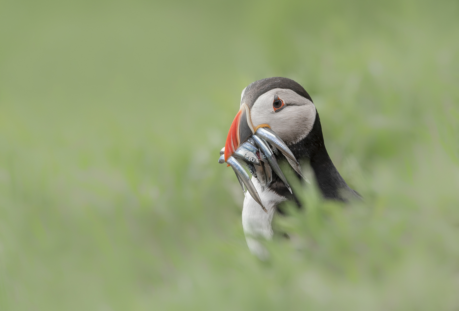 <h5>Puffin with sand eeels</h5><p>By Claire Norman																	</p>