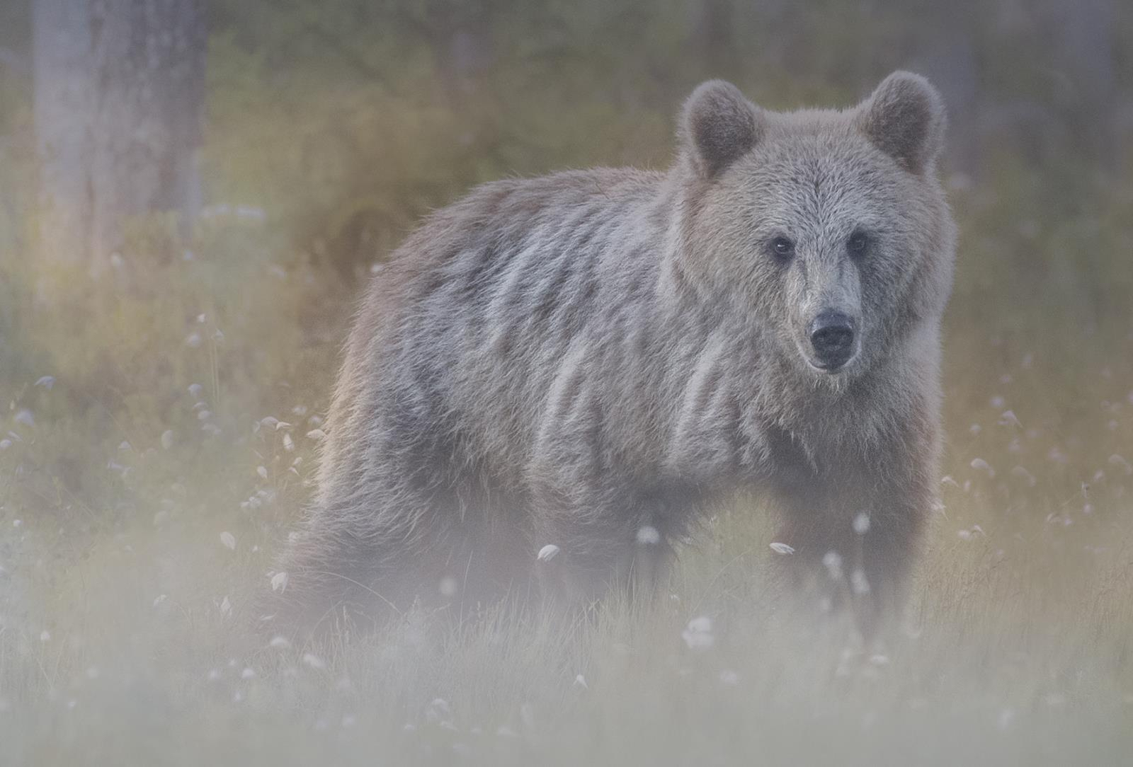<h5>Wild bear in the mist</h5><p>By Claire Norman</p>