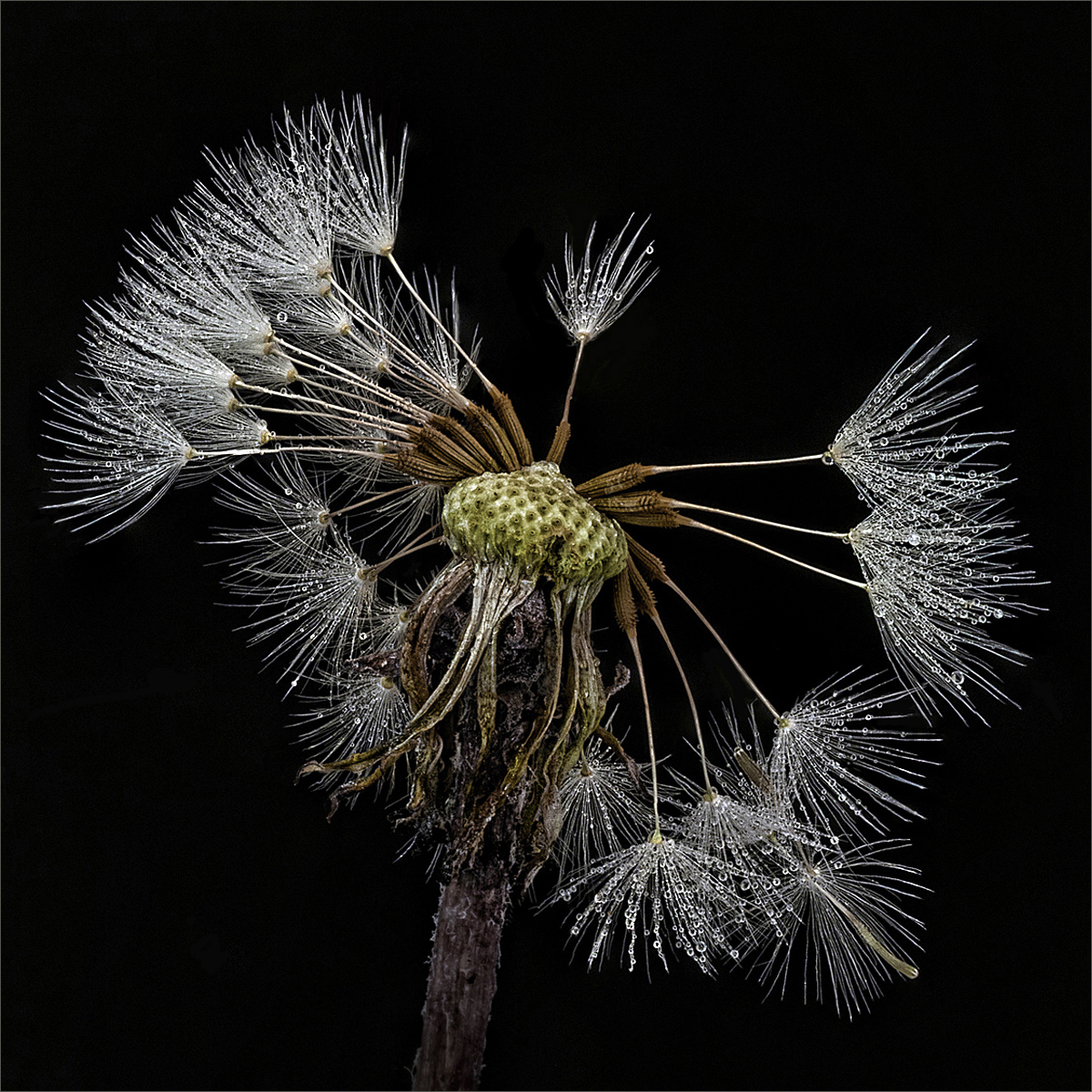 <h5>Just Dandy</h5><p>By Tony Perryman</p>