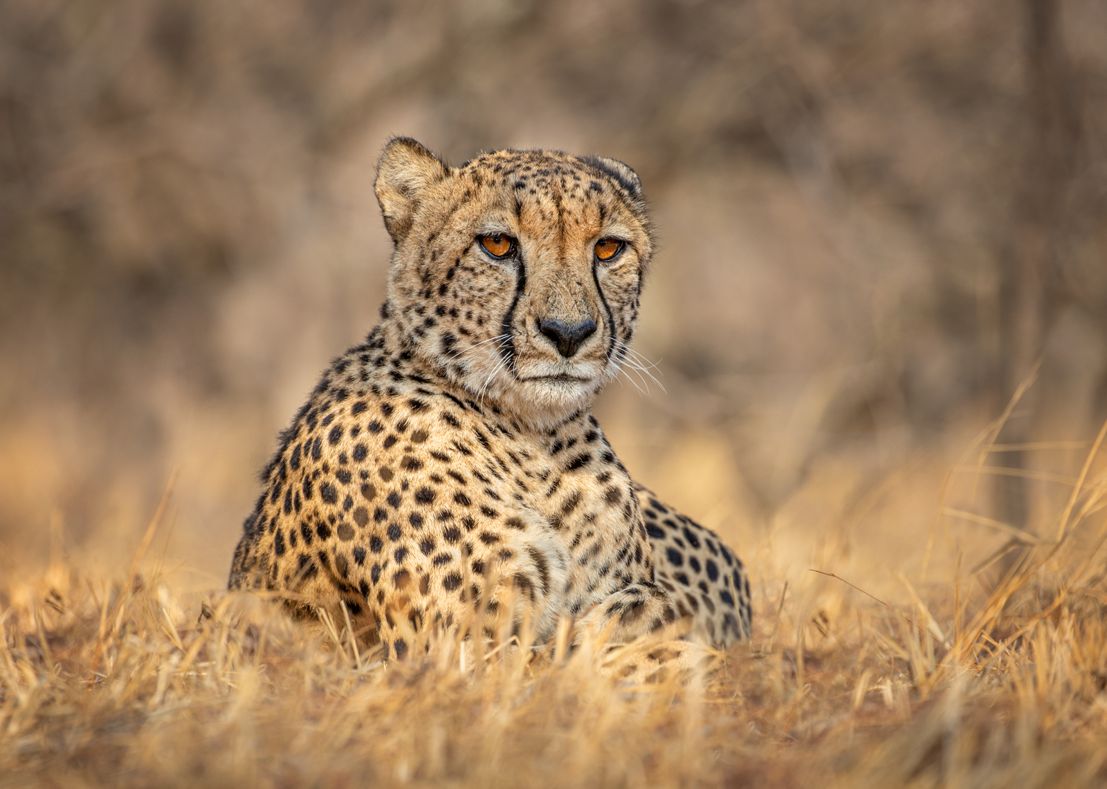 <h5>Cheetah Sunrise - Moditlo Game Reserve - South Africa</h5><p>Steve Bancroft																	</p>