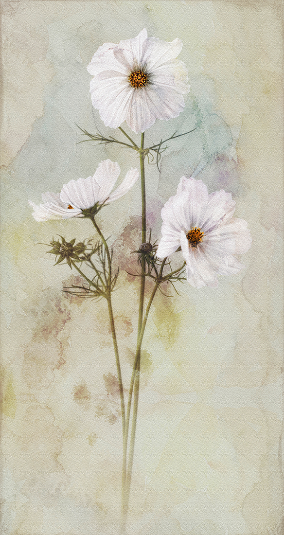 <h5>Cosmos Trio</h5><p>Colour Print by Tony Perryman																	</p>