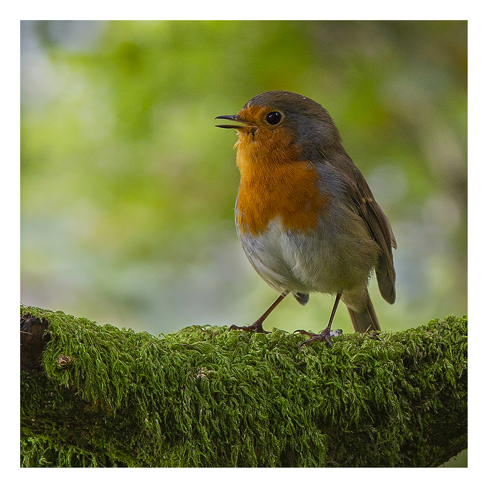 <h5>Lakeland Robin</h5><p>Colour print by Keith Potter																	</p>