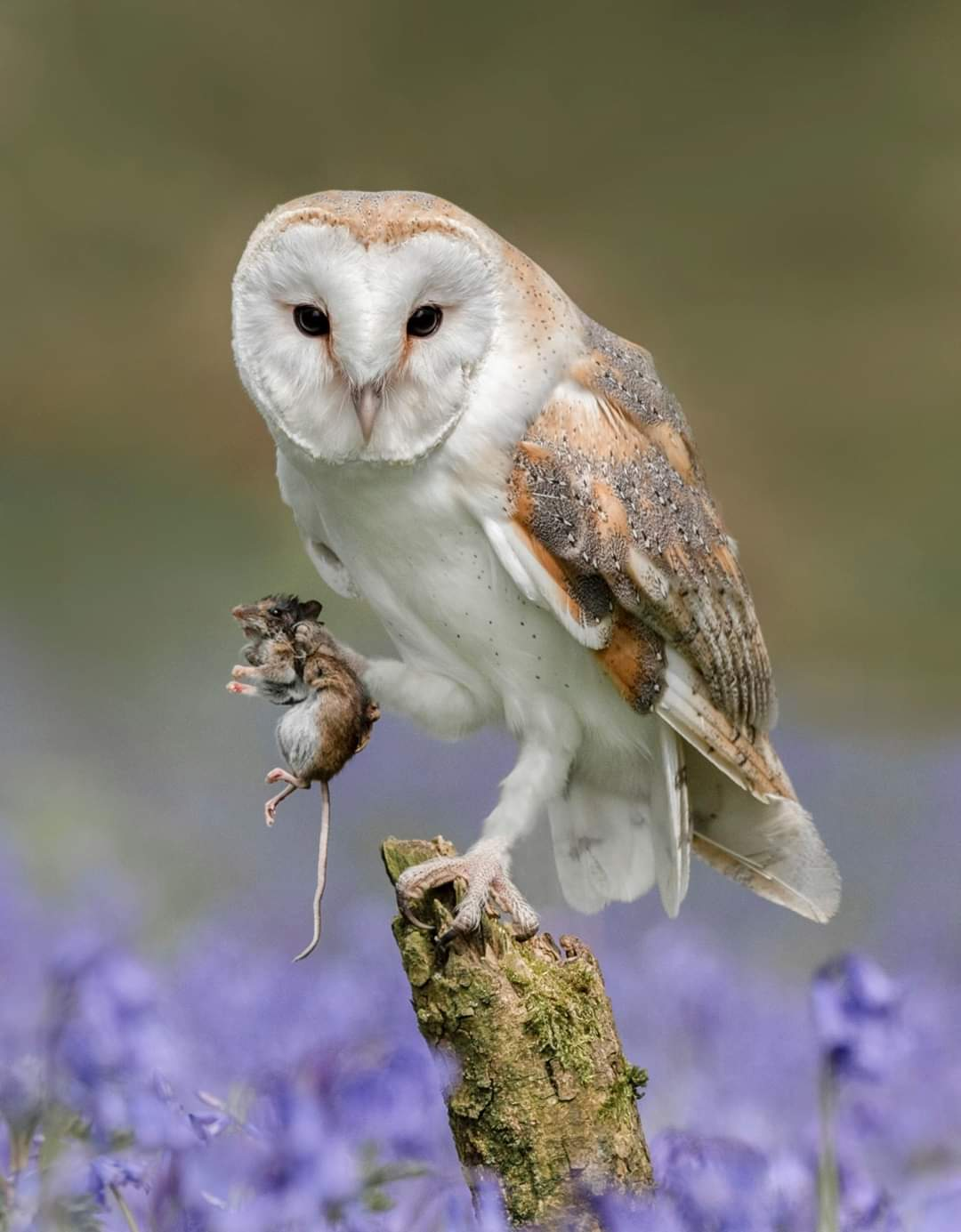 <h5>Barn Owl with Vole</h5><p>Colour Print by Claire Norman																	</p>