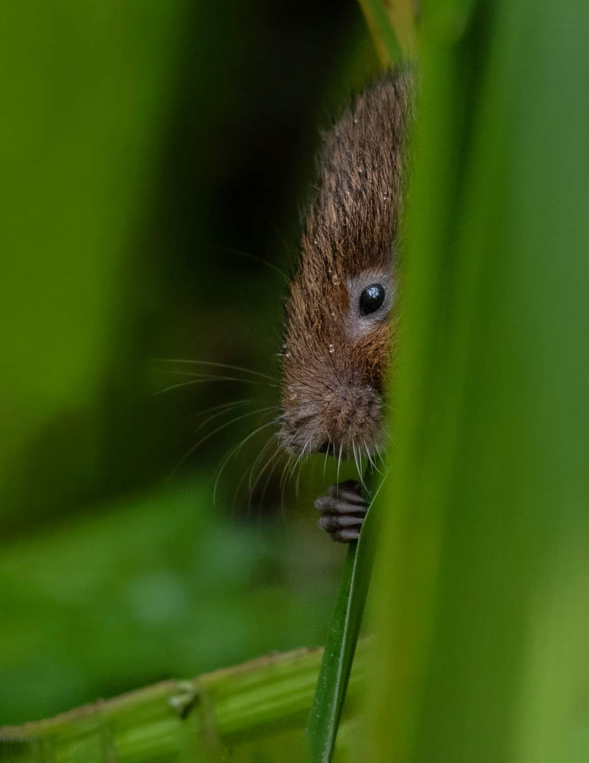 <h5>Water Vole peeping out from reeds</h5><p>Colour Print by Claire Norman																	</p>