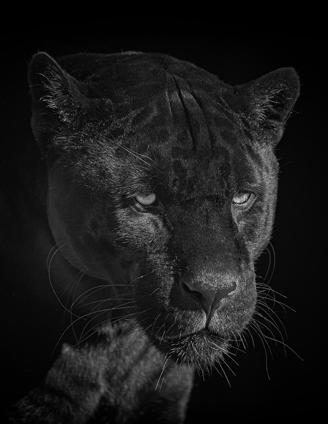 <h5>Jaguar</h5><p>Monochrome Print by Steve Bancroft</p>