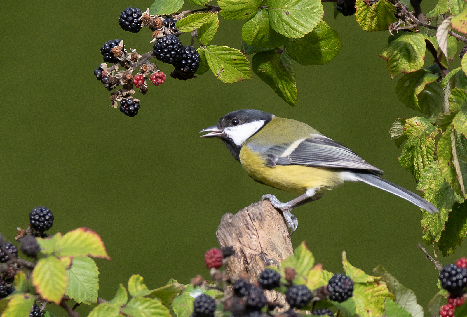 <h5>Great Tit and Blackberries</h5><p>Colour Print by Trevor Partridge</p>