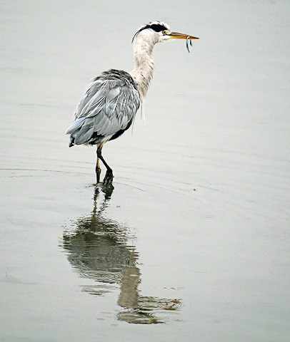 David Cutts Heron Fishing