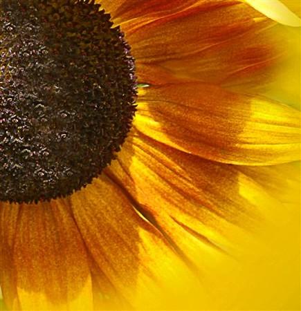 Fiona Fraser-Thomson LRPS _ 'Sunflower Solar Flares'