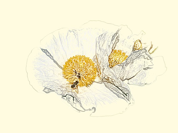 Fiona Fraser-Thomson LRPS_2) Coloured Pencil Sketch of a White Poppy
